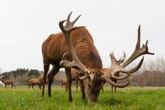 Gregge dei maschi dei cervi nobili sopra Immagine Stock