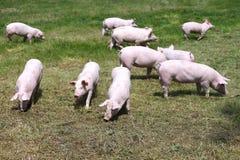 Gregge dei porcellini sul summetime della fattoria degli animali Fotografia Stock