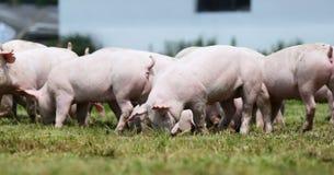 Gregge dei porcellini sul summetime della fattoria degli animali Fotografie Stock