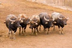 gregge dei tori Immagine Stock Libera da Diritti