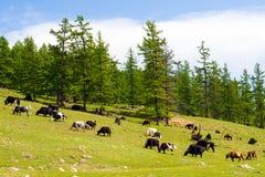 Gregge dei yak e delle mucche mongoli immagini stock