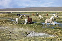 Gregge del altiplano dei lama nel Perù Immagini Stock
