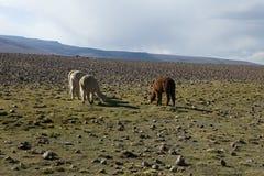 Gregge del altiplano dei lama nel Perù Immagini Stock Libere da Diritti