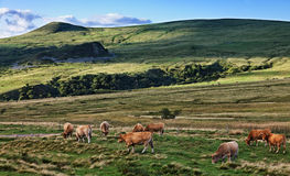 Gregge del bestiame Fotografia Stock