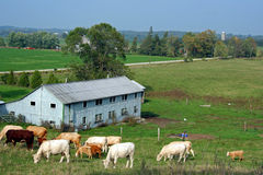 Gregge del bestiame Fotografia Stock Libera da Diritti
