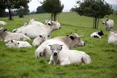 Gregge del bestiame bianco della sosta Fotografia Stock