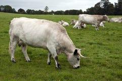 Gregge del bestiame bianco della sosta Fotografia Stock Libera da Diritti
