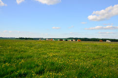 Gregge del bestiame che pasce su un campo in pieno dei denti di leone Immagini Stock