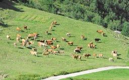 Gregge del bestiame che pasce sul pascolo alpino degli altopiani soleggiati della molla Immagini Stock