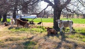 Gregge del bestiame d'un anno bianco e nero rosso in varie pose dal recinto e degli alberi in pascolo con i fabbricati agricoli d Immagine Stock