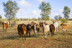 Gregge del bestiame del Brahman nell'entroterra Queensland Fotografie Stock