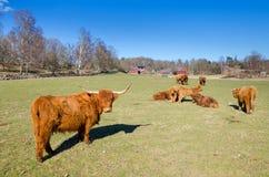 Gregge del bestiame dell'altopiano Fotografia Stock