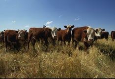 Gregge del bestiame dell'intervallo Immagini Stock Libere da Diritti