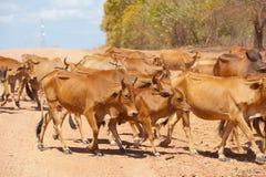 Gregge del bestiame Immagine Stock Libera da Diritti