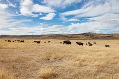 Gregge del bisonte in Alberta Under Blue Sky del sud Fotografie Stock Libere da Diritti