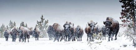 Gregge del bisonte americano Fotografie Stock Libere da Diritti