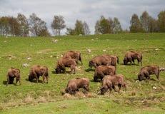 Gregge del bisonte che pasce Fotografia Stock Libera da Diritti