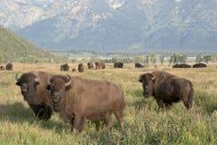 Gregge del bisonte che pasce nel pascolo aperto Fotografie Stock Libere da Diritti