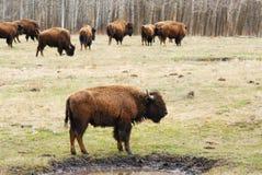 Gregge del bisonte nell'isola degli alci Fotografie Stock