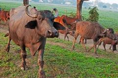Gregge del bufalo di acqua Immagini Stock Libere da Diritti