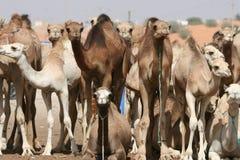 Gregge del cammello Fotografia Stock Libera da Diritti