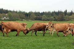gregge del campo delle mucche immagini stock