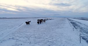 Gregge del cavallino in vista la vista aerea video d archivio