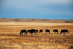 Gregge del cavallo Fotografie Stock Libere da Diritti