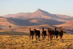 Gregge del cavallo selvaggio Fotografie Stock Libere da Diritti