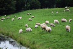 Gregge del gregge di sheeps Immagine Stock