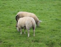 Gregge del gregge di sheeps Immagini Stock Libere da Diritti