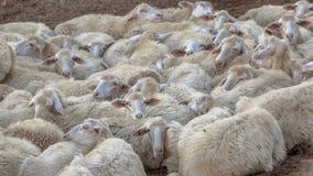 Gregge del fondo delle pecore di sonno Immagine Stock Libera da Diritti