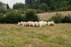 Gregge del gregge di sheeps Fotografia Stock Libera da Diritti