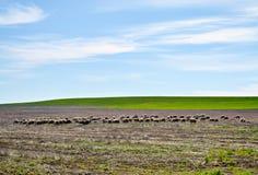 Gregge del gregge di sheeps Fotografia Stock