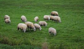 Gregge del gregge di sheeps Fotografie Stock Libere da Diritti