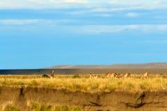Gregge del guanaco fotografia stock libera da diritti