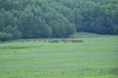 Gregge del maschio e dei cervi sul prato fotografia stock libera da diritti