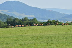 Gregge del maschio e dei cervi sul prato che pascono Fotografia Stock