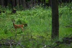 Gregge del maschio e dei cervi sul prato che pascono Fotografia Stock Libera da Diritti