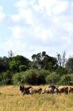Gregge del Oryx Fotografie Stock Libere da Diritti
