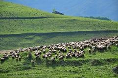 Gregge del pascolo delle pecore Immagine Stock Libera da Diritti