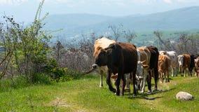 Gregge del primo piano delle mucche fotografia stock
