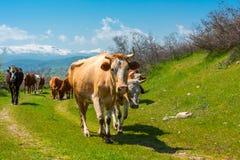Gregge del primo piano delle mucche immagini stock