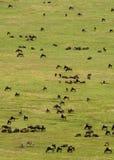 Gregge del Wildebeest fotografia stock libera da diritti
