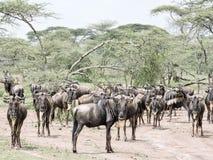 Gregge del wildebeest Immagini Stock Libere da Diritti