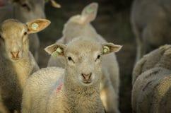 Gregge dell'agnello Immagini Stock