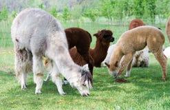 Gregge dell'alpaca Immagine Stock Libera da Diritti