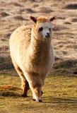 Gregge dell'alpaca. ritratto dell'alpaga Fotografia Stock