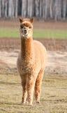 Gregge dell'alpaca. ritratto dell'alpaga Immagini Stock Libere da Diritti