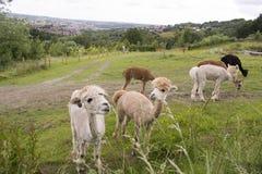 Gregge dell'alpaca a Sheffield, Regno Unito Fotografia Stock Libera da Diritti